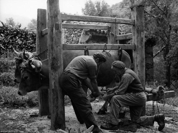 Robert Doisneau // Auvergne - Ferrage de boeufs Philippon, commune de Chazelles, Langeac Août 1971