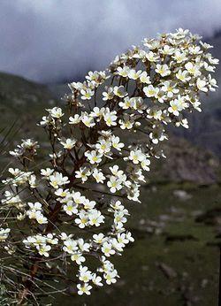 Saxifraga longifolia hampe florale.jpg