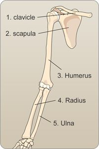 The Collarbone, Scapula, Radius and Ulna, labeled