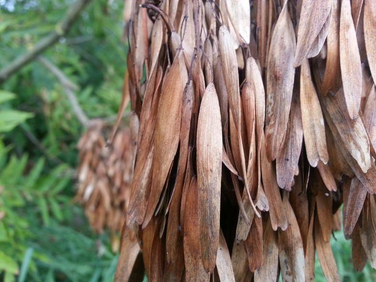 Fraxinus Excelsior - The Ash 10 seeds