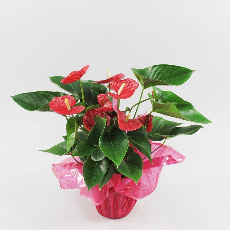 Anthurium andr. Red Winner in rondello Ø17cm