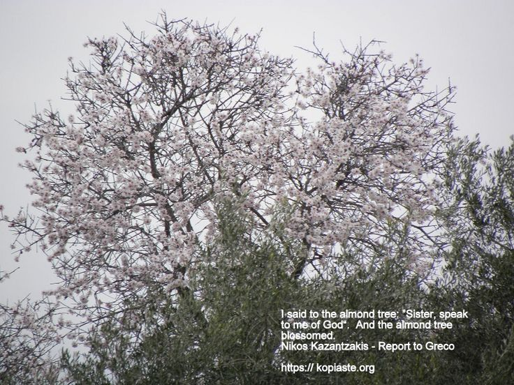 """Good morning! I said to the almond tree:  """"Sister, speak to me of God."""" And the almond tree blossomed.  ― Nikos Kazantzakis   #spring #almond_tree #Kazantzakis"""