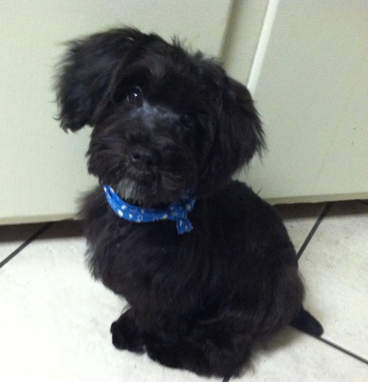 Schnoodle Cajun got a haircut; teddy bear face with schnauzer body cut ...