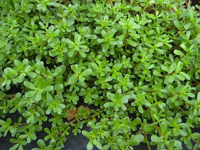 Who Knew? Purslane Seeds Are Loaded With Health Benefits … Here Are 5 Of Them