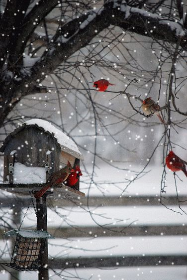 Click on picture, and it will snow! Love this. Cardinals are my favorite birds. Their beautiful red coloring shows beautifully any time of the year.