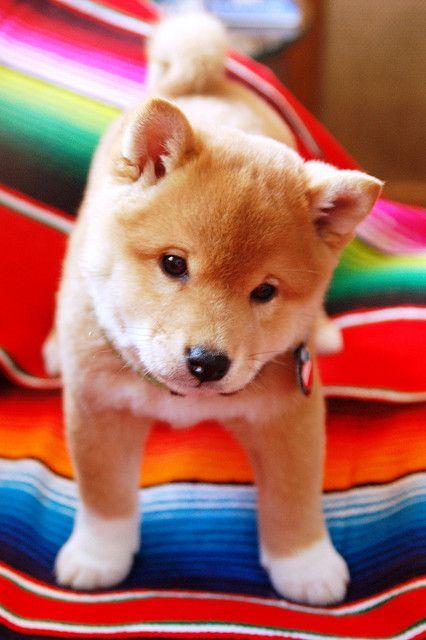 #Shiba #puppy
