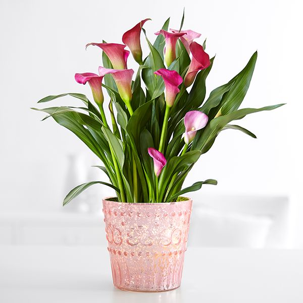 potted pink calla lily - Tall Flowering House Plants
