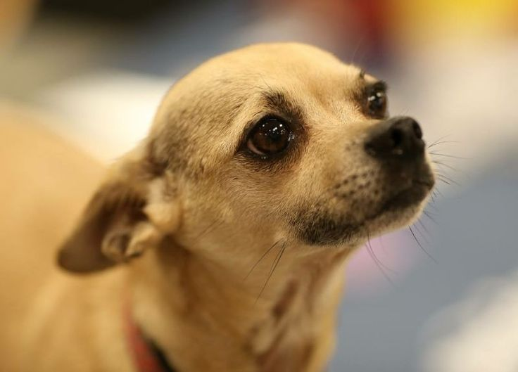 Chihuahua dog for Adoption in Ft. Worth, TX. ADN-695428 on PuppyFinder.com Gender: Female. Age: #Chihuahuadogs