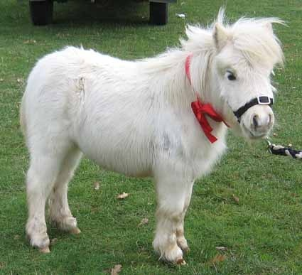 Are Difference Cles For Mini Horse And Pony Majestictiers Webs Com