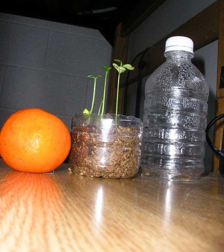 Come far crescere un albero di agrumi ,Limone, Arancia, Pompelmo, Lime, da una bottiglia di plastica