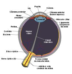 Schematic diagram of the human eye
