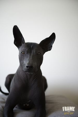 FRAMEYOURPET.CO Mexican hairless dog, Akame, black, dog photography, xoloitzcuintle