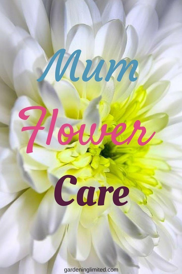 Fall chrysanthemumsmum flower care jot to jot blogging group