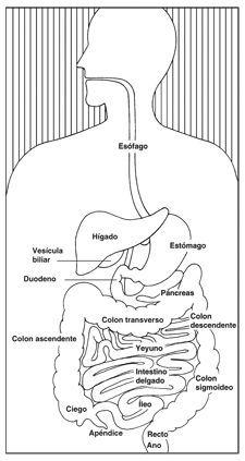Ilustración del aparato digestivo con las siguientes secciones enumeradas: esófago, estómago, hígado, vesícula biliar, duodeno, páncreas, yeyuno, intestino delgado, íleo, apéndice, ciego, colon ascendente, colon transverso, colon descendente, colon sigmoideo, recto y ano.