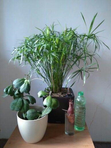 Hoya kerrii, Ipomea batatas & Cyperus alternifolius