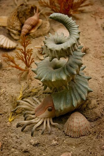 Ammonite | Flickr   by elrina753....This awesome replica of a turrilitid ammonite is from the Cretaceous Seas diorama at the American Museum of Natural History in New York City. Members of the ammonite family Turrilitidae are characterized by shells that are not typical tight spirals—a condition known to paleontologists as heteromorph.  .They lived world-wide during the late Cretaceous period, but, like all ammonites, they went extinct in the same global catastrophe that killed off the…