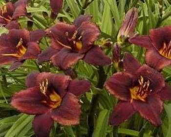 Chocolate Candy | Strictly Daylilies