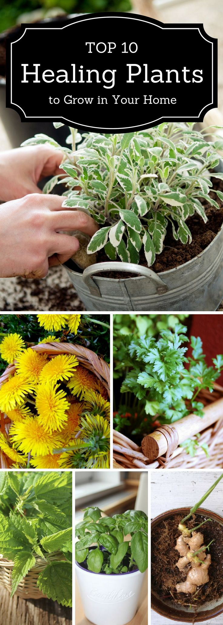 There are so many medicinal vegetables, fruits and herbs to choose from. Our list will definitely make you choose which are the best for you and which will thrive best in your home. Take a look