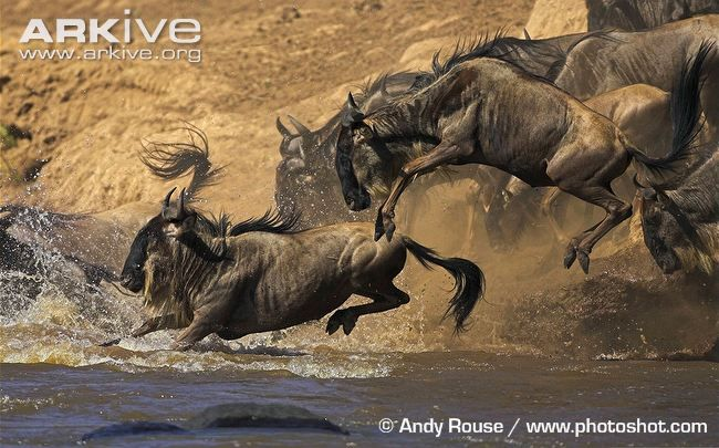 Blue wildebeest videos, photos and facts - Connochaetes taurinus | Arkive