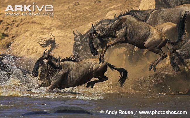 Google Image Result for http://cdn1.arkive.org/media/0F/0F809EF7-AAAA-4580-8CB6-E26444AF9C4F/Presentation.Large/Blue-wildebeest-jumping-into-river-during-migration.jpg