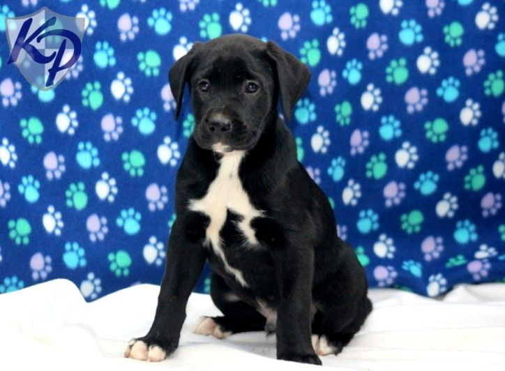 hoss boxador puppy keystonepuppies boxador boxador puppies. Black Bedroom Furniture Sets. Home Design Ideas
