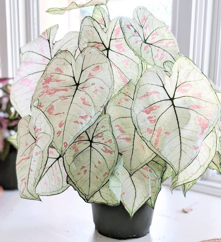 caladium  #houseplants #plantcare #interiordecoration #plantlife #livingwithplantsbitter root vintage