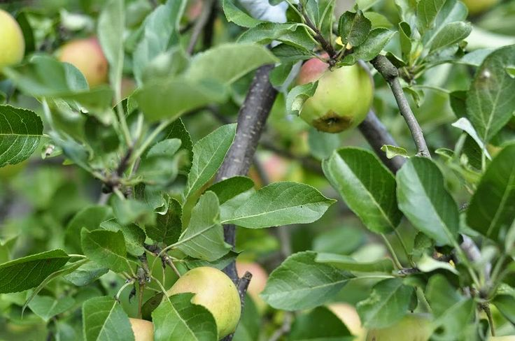 Apple tree Obcująca z naturą