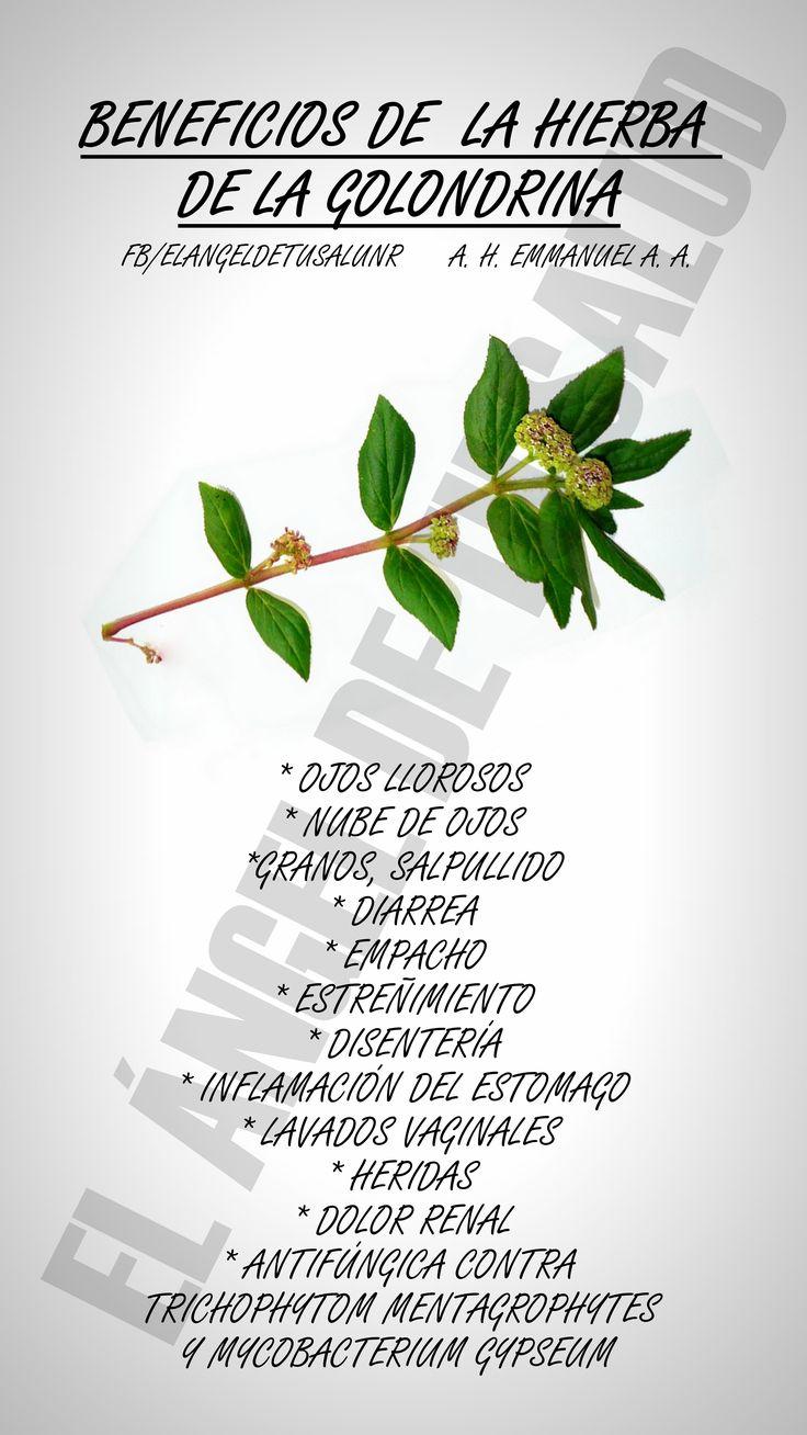 Hierba de la golondrina Euphorbia prostrata Aiton Euphorbiaceae Sinonimia popular Golondrina, hierba de la golondrina chica, hierba del soldado. Michoacán: uijsakua-pitsikat; Nayarit: santaru (cora); Oaxaca: mejen xanab mucuy, xanab - mucuy; Puebla: akgkunuc xanat (totonaco); Yucatán: ch'een-ojo. Etnobotánica y antropología. El uso de esta planta se menciona en estados del norte como Sonora y Nayarit, y en los del centro del país como el Distrito Federal, Estado de México, Michoacán, Pu