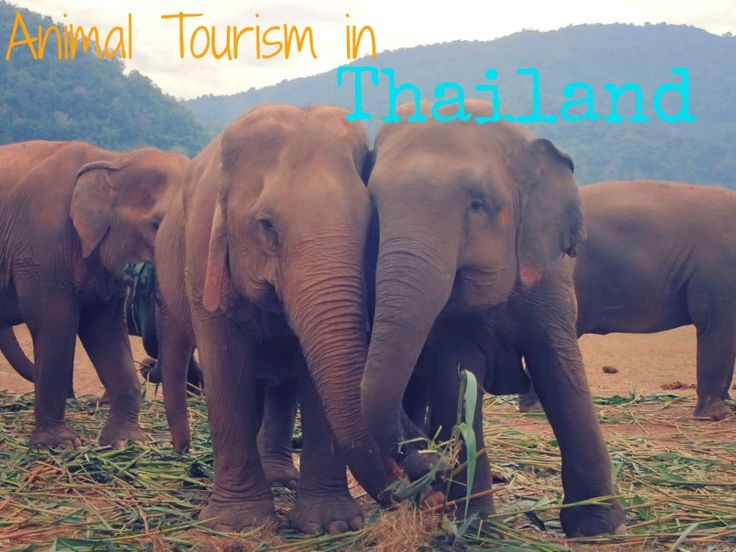 Animal Tourism in Thailand: Elephants, Tigers, and Monkeys, Oh My! :http://thewanderingblonde.com/2015/04/29/animal-tourism-in-thailand-elephants-tigers-and-monkeys-oh-my/