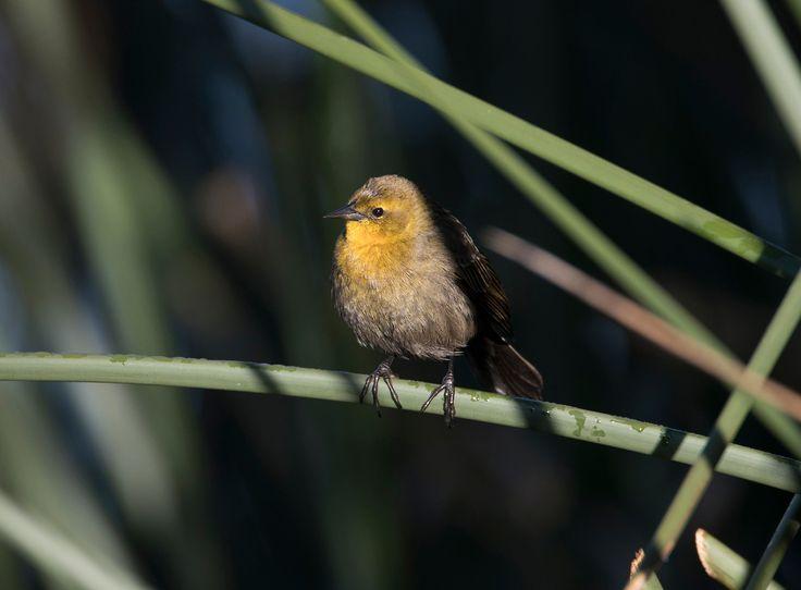 Female yellow hooded blackbird. - Female yellow hooded blackbird at La Florida wetland near Bogota.