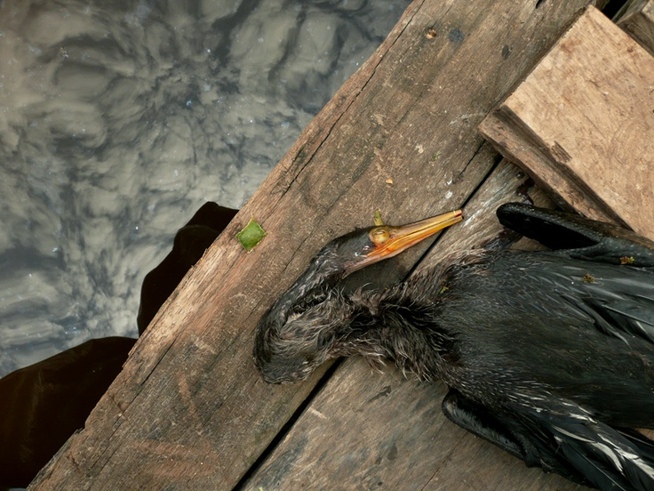 Pato aguja muerto