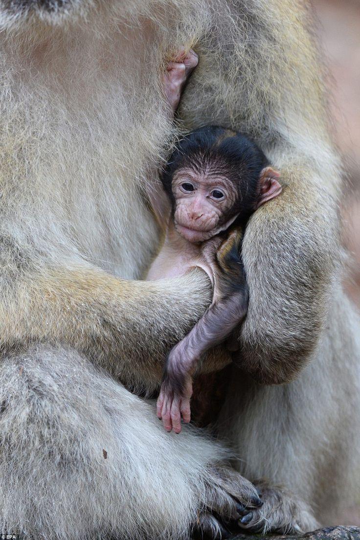 1000 images about primates on pinterest orangutans baby orangutan