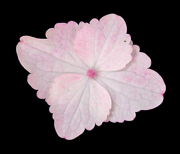 Hydrangea serrata 'Intermedia' ray floret.