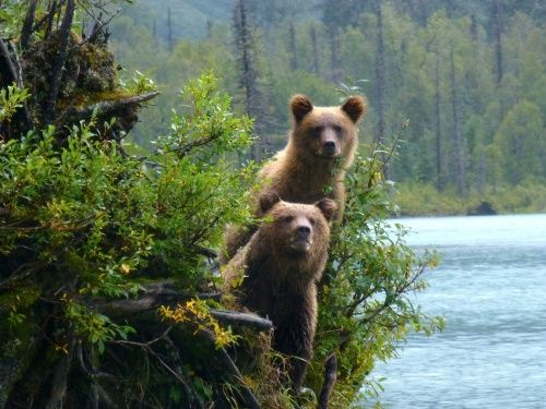 PHOTO OF THE YEAR 2013 CONTEST 8. Gene De Fouw - Grizzly Bears