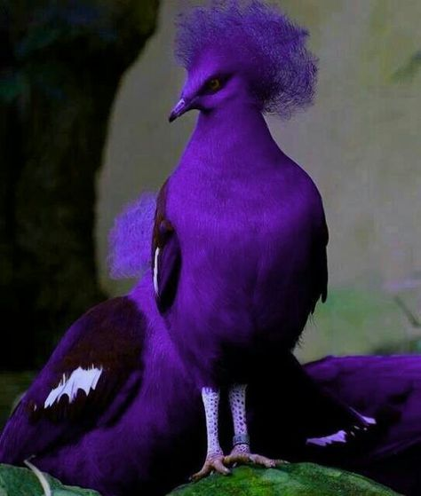 She is definitely  a Diva. So gorgeous!!!! More  beautiful  then the scarlett  Macaw. Purple Bird!