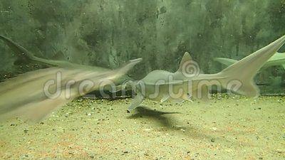 Some Siberian sturgeons swimming in water
