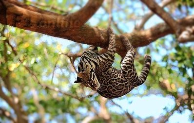 Margay hanging from tree.