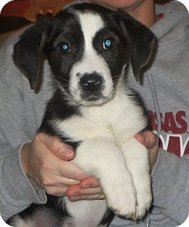 Greenville, RI - Basset Hound/Border Collie Mix. Meet ...