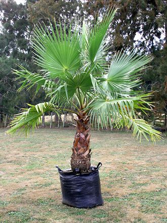 mexican fan palm - Google Search