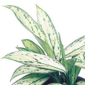 El blog de Los Peñotes: Plantas de interior resistentes: Aglaonemas.