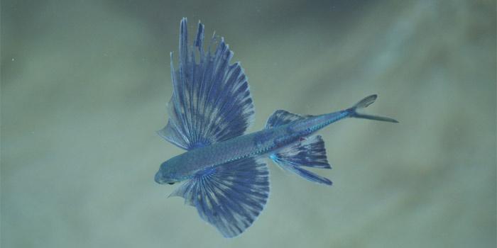 Mediterranean Fly Fish (Cheilopogon heterurus)