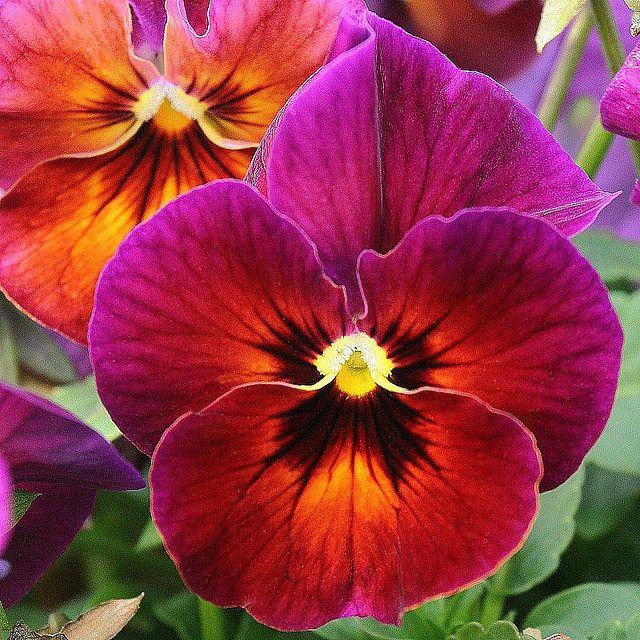 purple fuschia pansy flowers