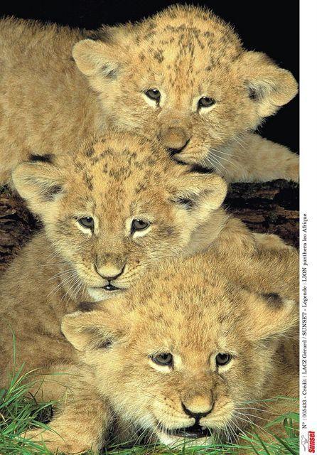 Naissance de trois petites lionnes au Cerza  à quelques minutes du Domaine du Martinaa et ses gites www.martinaa.fr