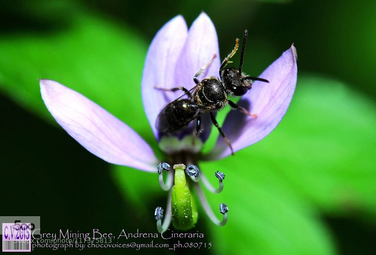 Ashy Mining Bee or Grey Mining Bee Andrena Cineraria by ChocoVoices. Please Like http://fb.me/go4photos and Follow @go4fotos Thank You. :-)