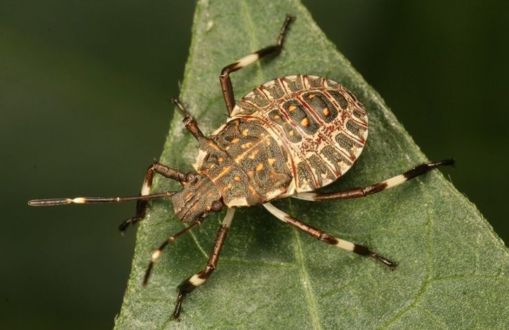 Halyomorpha halys,also known as brown marmorated stink bugs, have become a great headache for home owners. These pests are half an inch