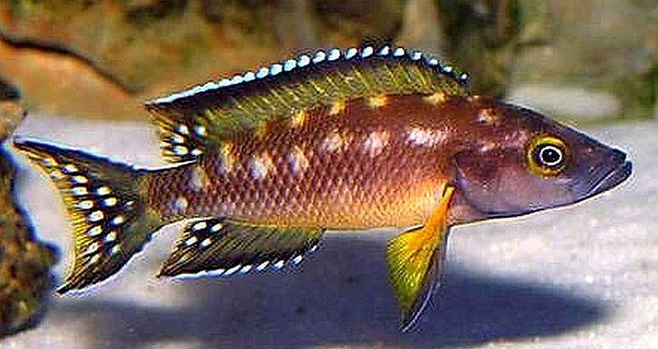 840 Best Cichlids Images On Pinterest African Cichlids