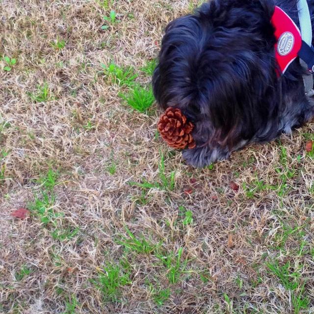 One tasty pine cone