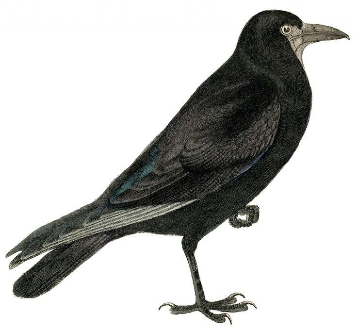 Free Vintage Crow Image from 1859 Antique Bird Print ~ Halloween.