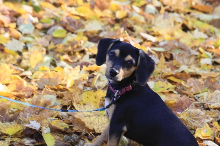 My little Sofi - Pocket Beagle  4 months old