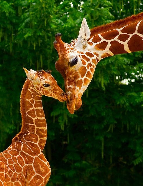 own!: Babies, A Kiss, Mothers, Animal Baby, Animal Photography, Baby Giraffes, Beautiful, Favorite Animal, Baby Animal